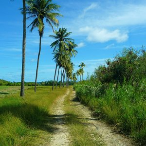 Palm lined dust road on Caribbean country side location in Barbados