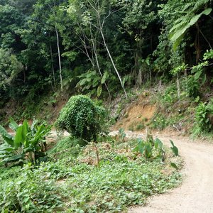 Jungle of Dominica on steep hill with dust road